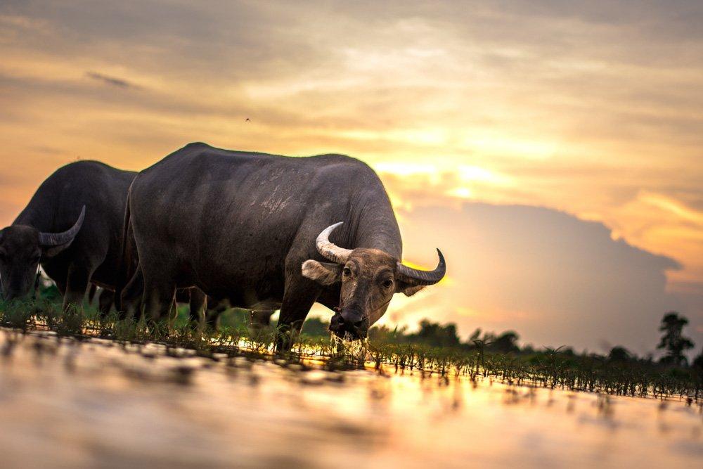 Bifeļi - Labākās budžeta viesnīcas Baganā