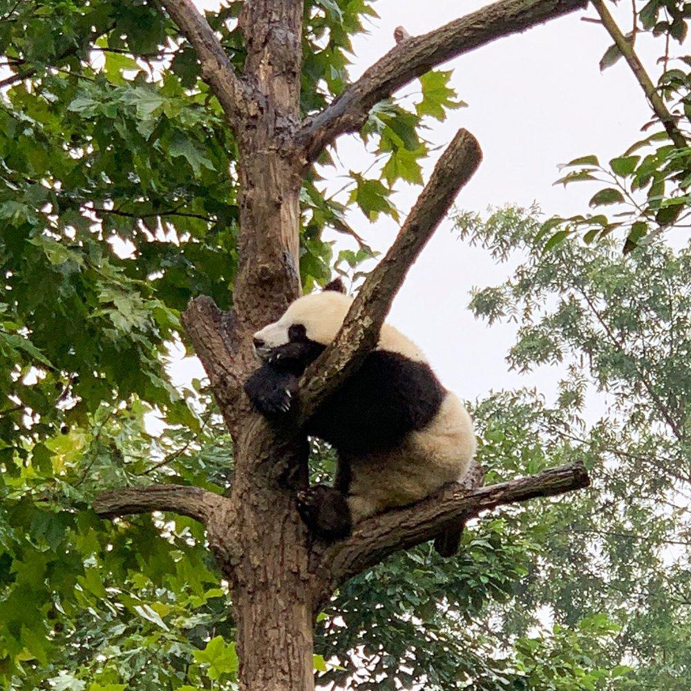 Panda Čendu Chengu Ķīnā